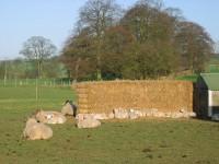 North Dalton Sheep